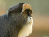 Debrazza's Monkey at the Sedgwick County Zoo, Kansas Stampa fotografica di Sartore, Joel