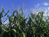 Cornstalks against a Blue Sky Photographic Print by Kenneth Garrett