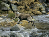 Ibex Jumping over a Creek Photographic Print by Kenneth Garrett