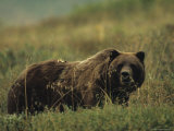 Grizzly Bear, Alaska Photographie par Michael S. Quinton