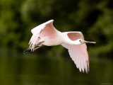 Juvenile Roseate Spoonbill in Flight, Tampa Bay, Florida Photographie par Tim Laman