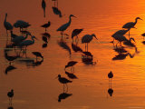 Great Egrets, Yellow Legs, and Snowy Egrets Feed in the Sunset Photographic Print by George Grall