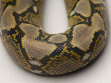 Juvenile Reticulated Python at the Sedgwick County Zoo, Kansas Photographic Print by Joel Sartore