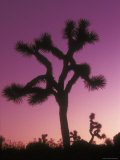 Joshua Trees with Colored Gel, California Fotografisk tryk af Rich Reid