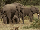 Elephant Herd Protecting a Small Calf, Hiding Underneath its Mother Photographic Print by Jason Edwards