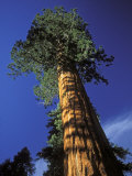 Giant Sequoias in Sequoia National Park, California Photographic Print by Rich Reid
