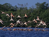 Flock of Flamingos Taking Flight, Yucatan, Mexico Photographic Print by Kenneth Garrett