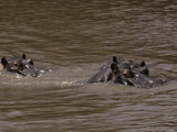Hippopotamus Swimmng in a Brown River, Eyes, Ears Nostrels above Water Photographic Print by Jason Edwards