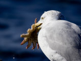 Herring Gull Holding a Sea Star It Has Captured, Massachusetts Photographic Print by Tim Laman