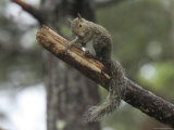 Gray Squirrel Cleans Itself Photographic Print by George Grall