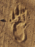 Endangered Northern Hairy-Nosed Wombat Foot Print Track in Sand, Australia Photographic Print by Jason Edwards