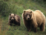 Grizzly Sow and Cub, Alaska Photographic Print by Michael S. Quinton