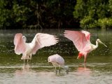 Juvenile and Adult Spoonbills Feeding, Preening, Tampa Bay, Florida Photographic Print by Tim Laman