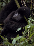 Endangered Mountain Gorilla Peers Through the Rainforest Foliage Photographic Print by Jason Edwards