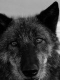 Grey Wolf Face Portrait in Black and White Photographie par Dawn Kish