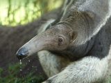 Giant Anteaters at the Sunset Zoo Photographic Print by Joel Sartore