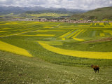 Cow Overlooks Wheat, Rapeseed Fields, Distant Village, and Mountains, Qinghai, China Photographic Print by David Evans