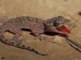 Gecko Flushing its Mouth Red to Deter Predators Photographic Print by Jason Edwards