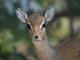 Dik Dik at the Kansas City Zoo Photographic Print by Joel Sartore