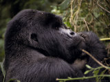 Endangered Male Silverback Mountain Gorilla Feeding in the Forest Photographic Print by Jason Edwards