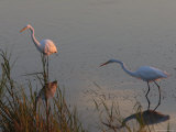 Great Egrets Hunting for Fish, Bombay Hook, Delaware Photographic Print by George Grall