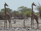 Giraffe Pair Identically Posed, Head in Profile, Eyes and Ears Alert Photographic Print by Jason Edwards