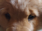 Golden Retriever Puppy Photographic Print by Heather Perry