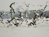 Flock of Laughing Gulls Dive on a School of Fish Photographic Print by Tim Laman