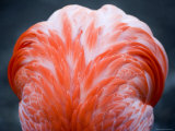 Detail of the Back of a Captive Flamingo, Massachusetts Photographic Print by Tim Laman