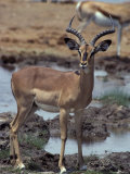 Endangered Black-Faced Impala Stands Alert by a Waterhole Photographic Print by Jason Edwards