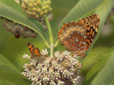 Great Spangled Fritillary and a Crescent Feeding on Milkweed Nectar Photographic Print by George Grall