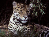 Jaguar Portrait of Face and Ears, Beautiful Fur Coat Markings, Australia Photographic Print by Jason Edwards
