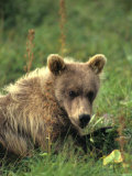 Grizzly Cub Laying on Tundra, Alaska Fotografie-Druck von Michael S. Quinton
