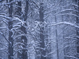 Forest in Wintertime, Flagstaff Arizona Photographic Print by John Burcham
