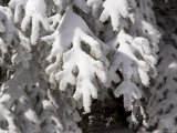 Detail of Snow on Conifer Branches Photographic Print by Tim Laman