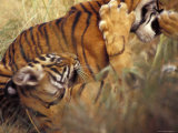 Endangered Bengal Tiger Cubs Play Wrestle in Tall Grasses with Jaws Photographic Print by Jason Edwards