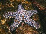 Giant Spined Sea Star, Pisaster Giganteus, California Photographic Print by James Forte