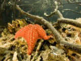 Cushion Sea Star, Belize Photographic Print by Tim Laman