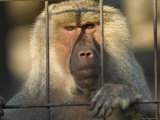 Hamadryas Baboon from the Sedgwick County Zoo, Kansas Photographic Print by Joel Sartore