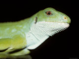 Endangered Banded Fijian Iguana Head with Bright Green Scales, Melbourne Zoo, Australia Photographic Print by Jason Edwards