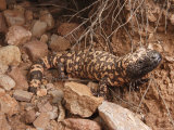 Gila Monster, Heloderma Suspectum, Out on an Evening Forage Photographic Print by George Grall