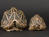 Indian Star Tortoises at the Sunset Zoo Photographic Print by Joel Sartore