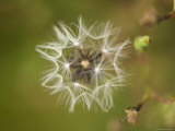 Dandelion at Spring Creek Prairie in Nebraska Photographic Print by Joel Sartore