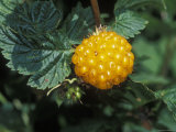 Edible Yellow Salmonberry on Kodiak Island, Alaska Photographic Print by Rich Reid