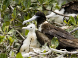 Frigatebird Adults and Chick at Nest, Belize Photographic Print by Tim Laman