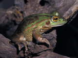 Endangered Southern Bell Frog, Growling Grass Frog, on a Tree Trunk, Australia Photographic Print by Jason Edwards