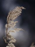 Fragile Reed Rush Grass Seeding in Golden Backlit Light, Australia Photographic Print by Jason Edwards