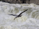 Great Blue Heron Flies over White Water Rapids Photographic Print by Skip Brown