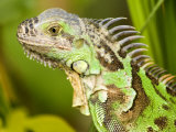 Green Iguana, Belize Photographic Print by Tim Laman