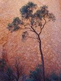 Desert Bloodwood Tree against the Red Sanstone of Uluru, Ayres Rock, Australia Lámina fotográfica por Edwards, Jason